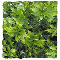Zoo Med Australian Maple Reptile Plant - Small